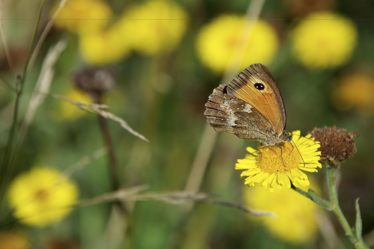 butterfly - insect, animals in the wild, nature, animal themes, one animal, insect, butterfly, focus on foreground, no people, beauty in nature, fragility, outdoors, animal wildlife, flower, leaf, close-up, plant, day, yellow, growth, freshness, spread wings, pollination, flower head