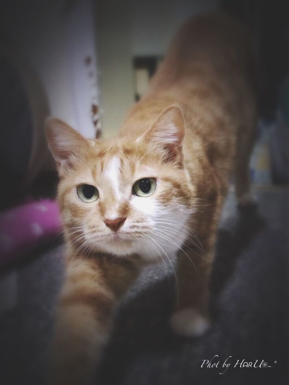 Cat Cat♡ ウチの姫様 My Cat Animal Playing With The Animals Cat Lovers 猫 Eyeem Best Shots - Animals 茶トラ猫