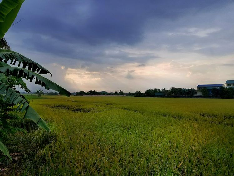 Sunset on ri Agriculture Field Crop  Beauty In Nature Philippinesphotography Southeastasia Tranquility Philippines Photos Vacations EyeEm Best Shots Travel Photography Travel Destinations EyeEmBestPics Travelphotography Tourism Travel ce field in Calamba Laguna Philippines