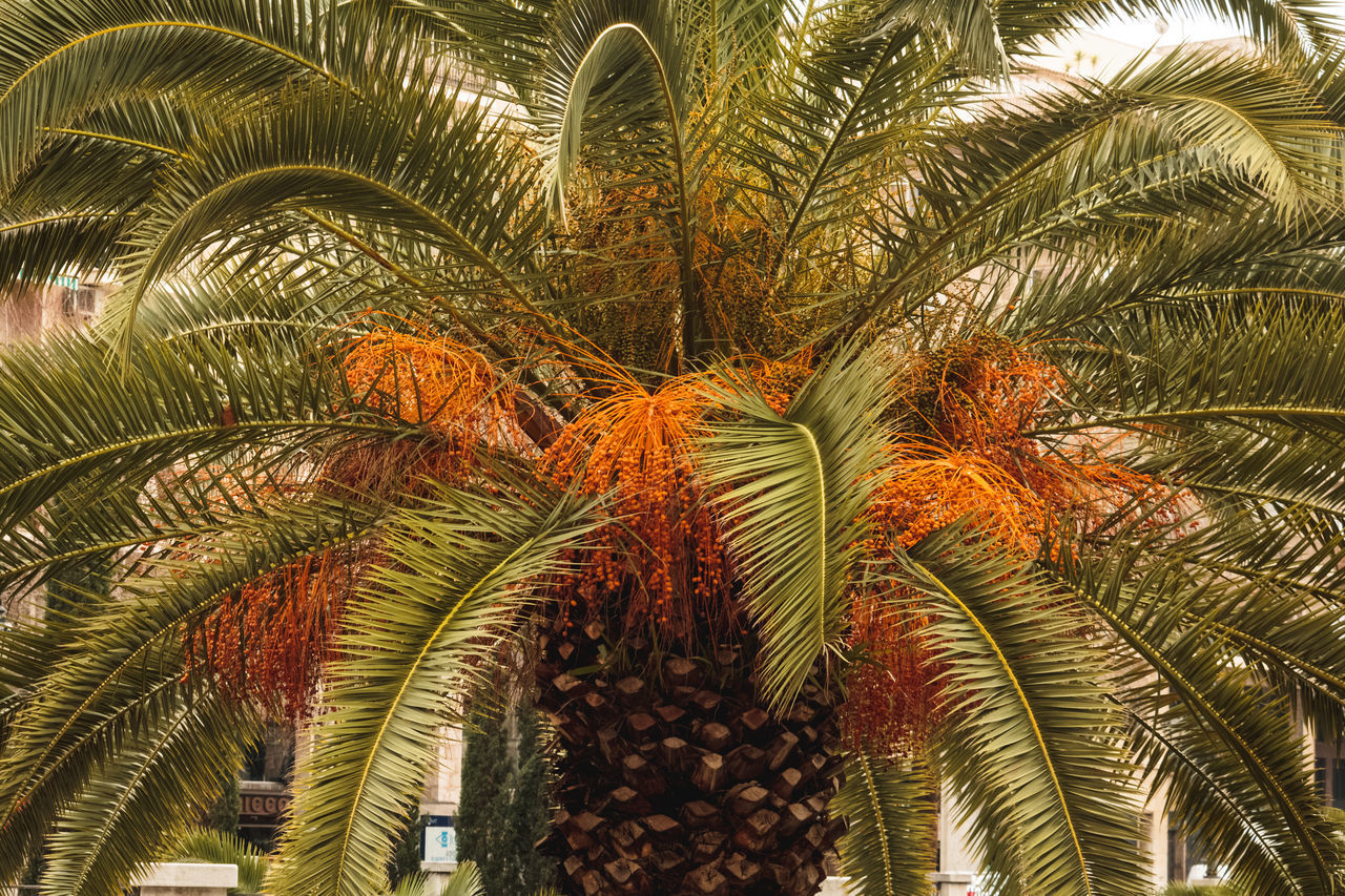 giant palm tree Beauty In Nature Beauty In Ordinary Things Blossom Blossoms  Frond Giant Growth Nature Palm Palm Tree Palma De Mallorca Tree