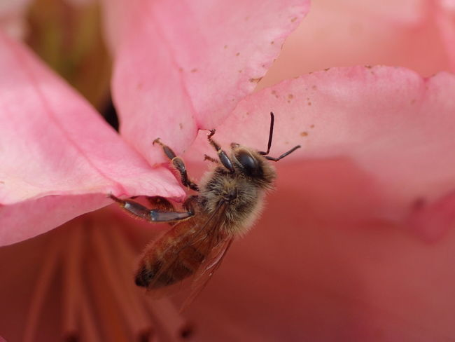 Bee On The Flower Close-up Fragility Nature Pink Color