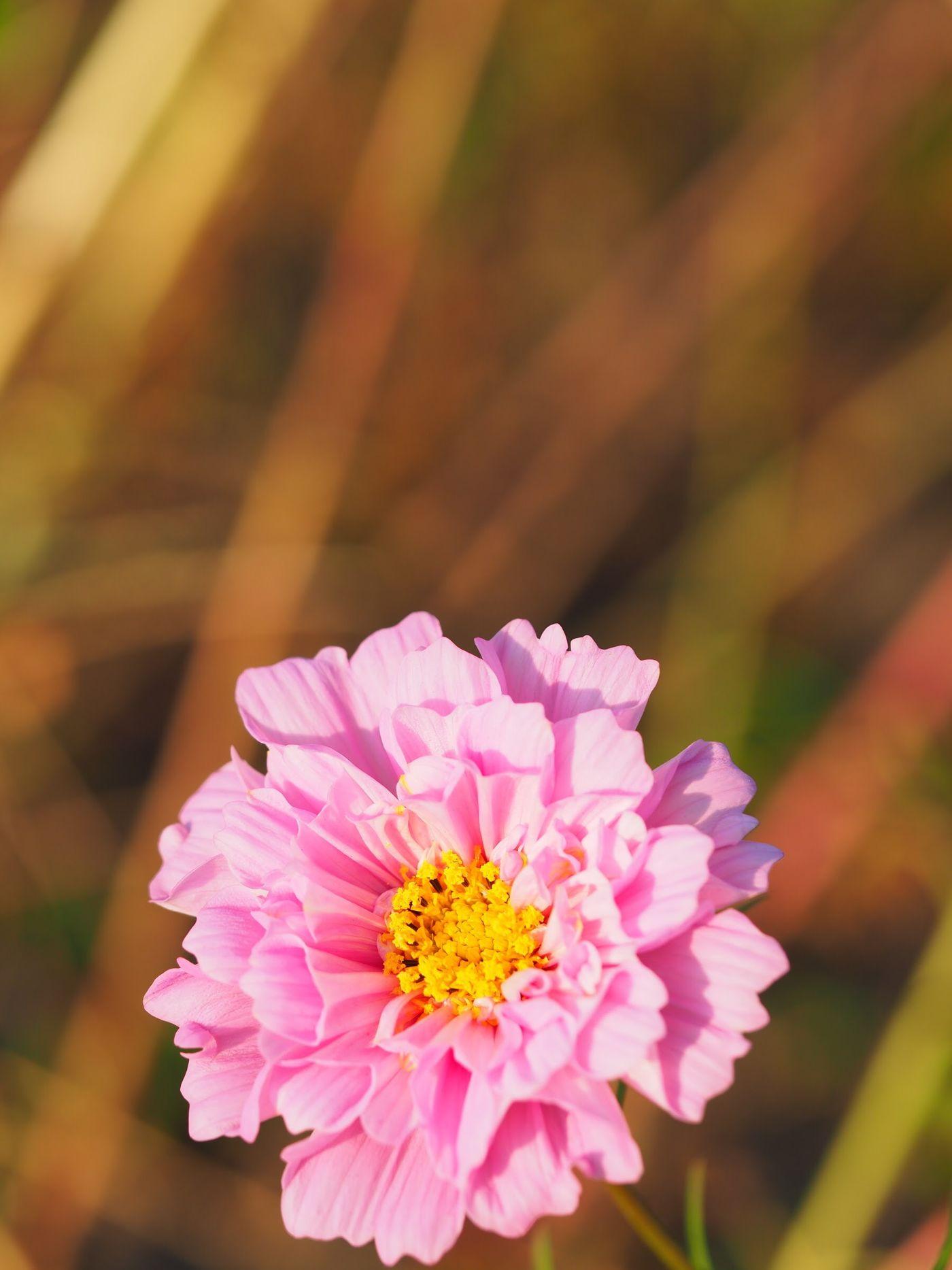 八重 コスモス Cosmos Flowers EyeEm Flower Flower Collection EyeEmFlower EyeEm Best Shots ダブルクリック