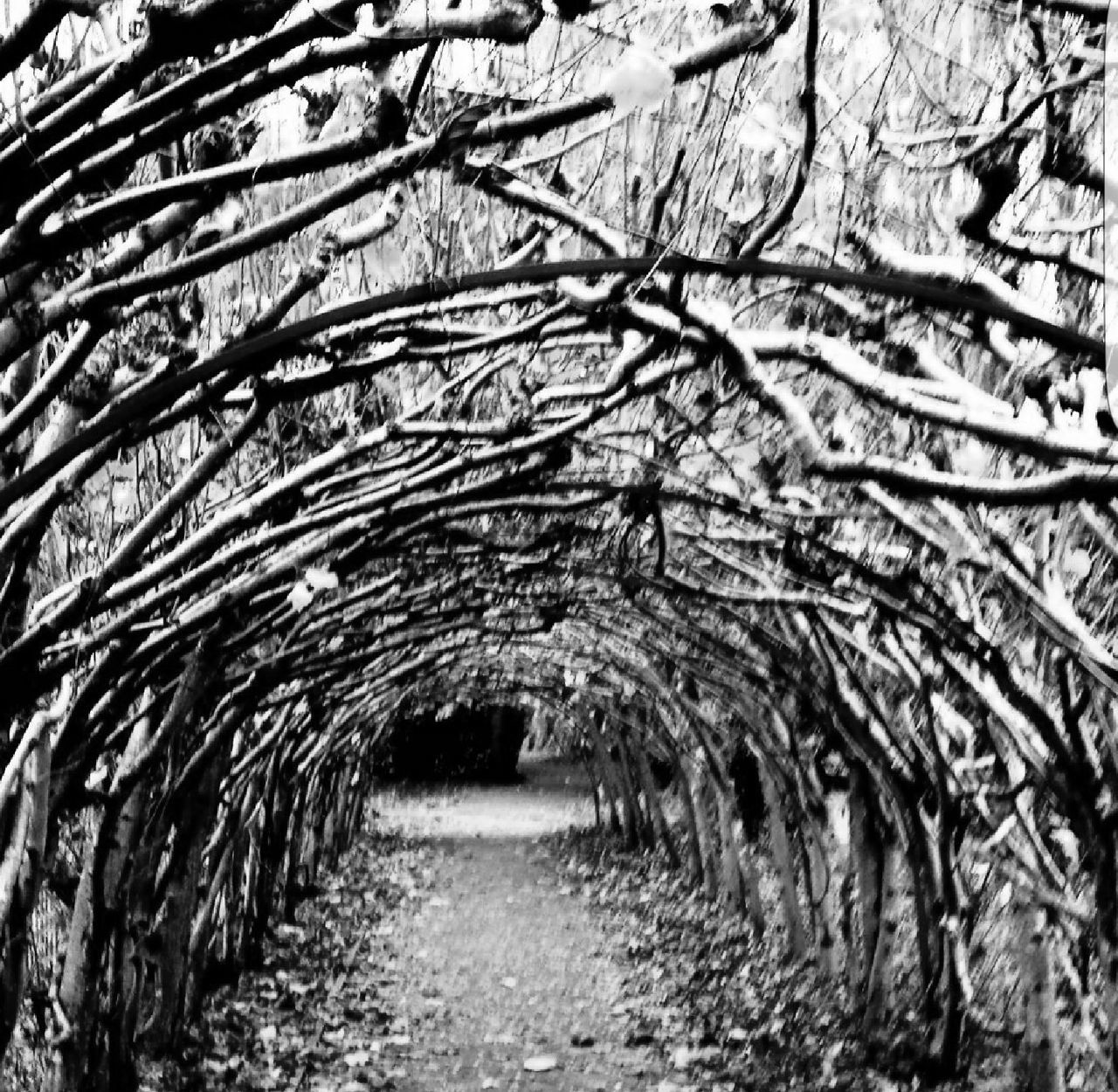 Growth No People Nature Outdoors Tree Beauty In Nature Eyem Gallery Blackandwhite Black And White Eyem Best Shots Eyeem Market Eyem Collection EyeEm Nature Lover Tree Arch Tree Branches Trees_collection Treetastic Tree Art Trees And Nature Tree Canopy  Treescape Treecollection Tree Porn Tree Tunnel Tree Tunnel, Albizia Tunnel, Nanawale, Pahoa