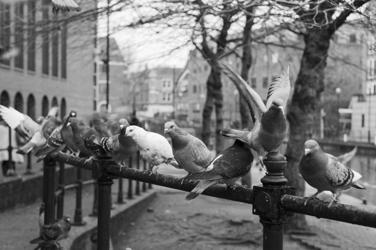Pigeons flapping and jostling along the River Kennet, Reading Animal Themes Animals In The Wild Bird Birds Birds In Flight Black And White Capturing Freedom City Wildlife Close Up Dove Flying Free Nature Outdoors Pigeon Pigeons Speed Street Urban Wildlife Wild Wildlife