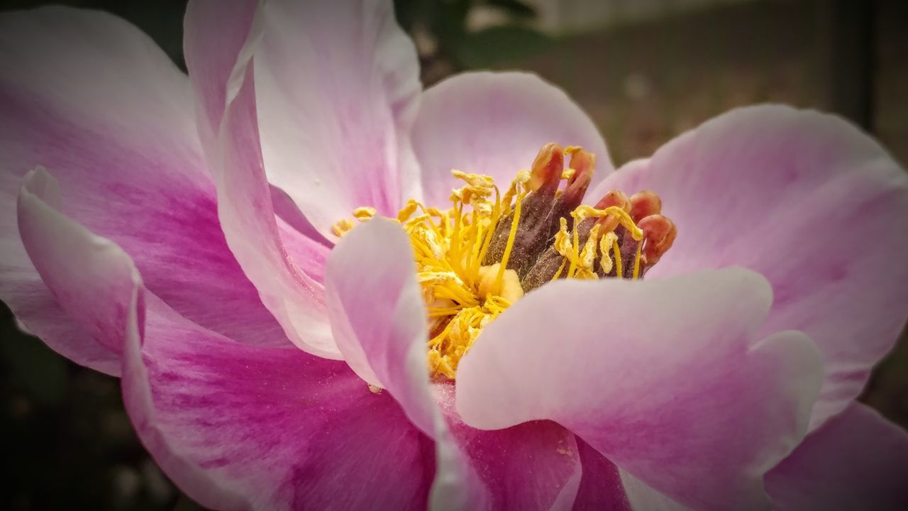 Flower Pink Color Petal Flower Head Plant Fragility Nature Close-up Beauty In Nature Blossom No People Yellow Outdoors Freshness Peony  Pastel Colored Day Beauty