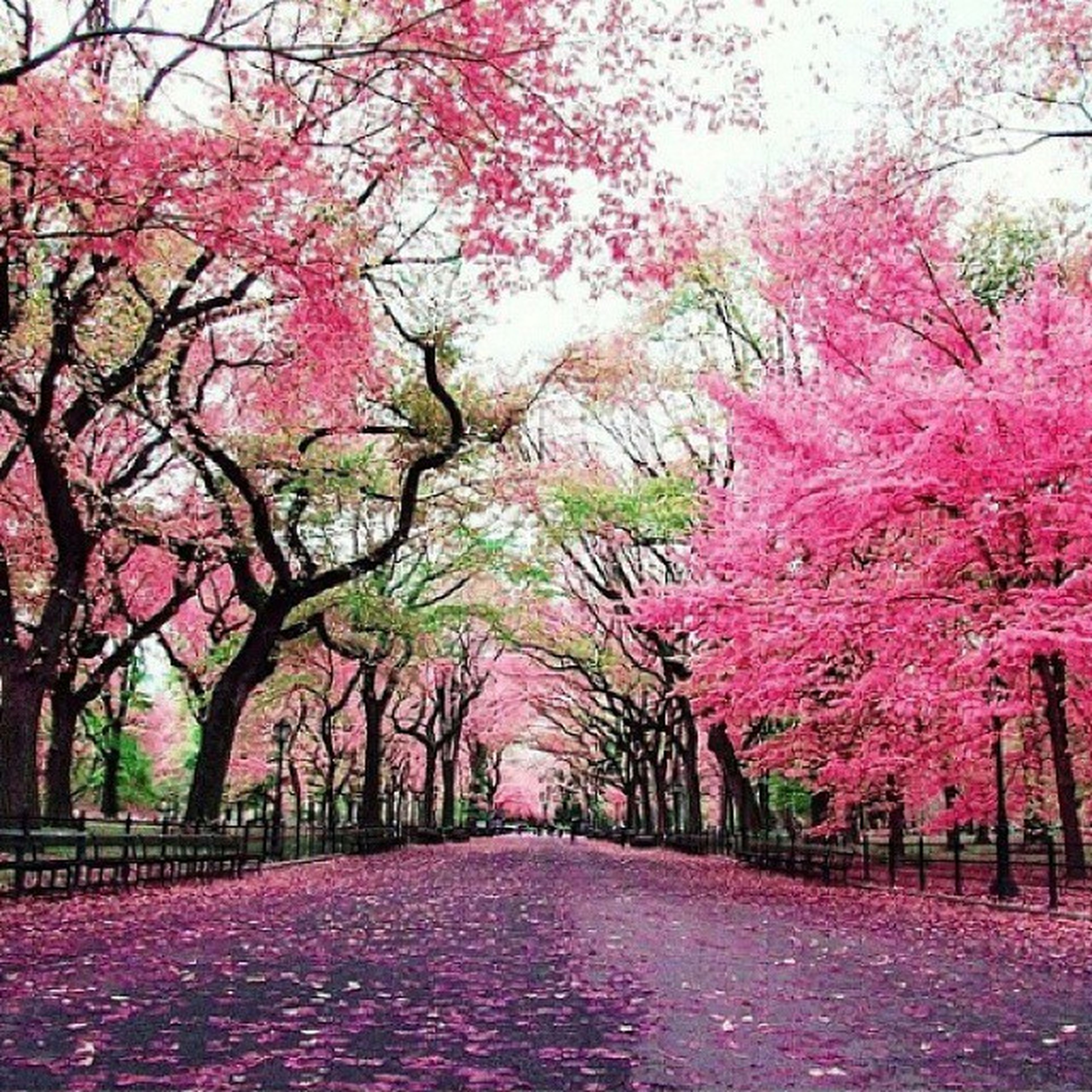 tree, the way forward, autumn, pink color, change, season, beauty in nature, nature, red, diminishing perspective, branch, road, growth, tranquility, flower, footpath, treelined, street, tranquil scene, scenics