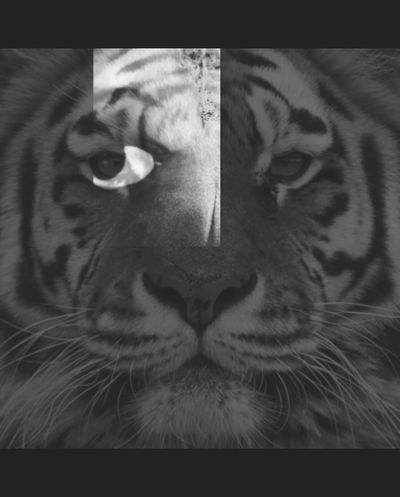Hanging Out Taking Photos Check This Out Relaxing Eyemphotography Artistically Artsy Blackandwhite Photography Nature Photography Natural Beauty Tigereyes Tiger Face Tiger Layering Layered