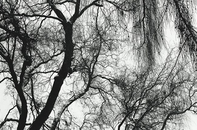 Winter Trees Nature Trees Black And White Canon A-1 Analog Photography TMax 400