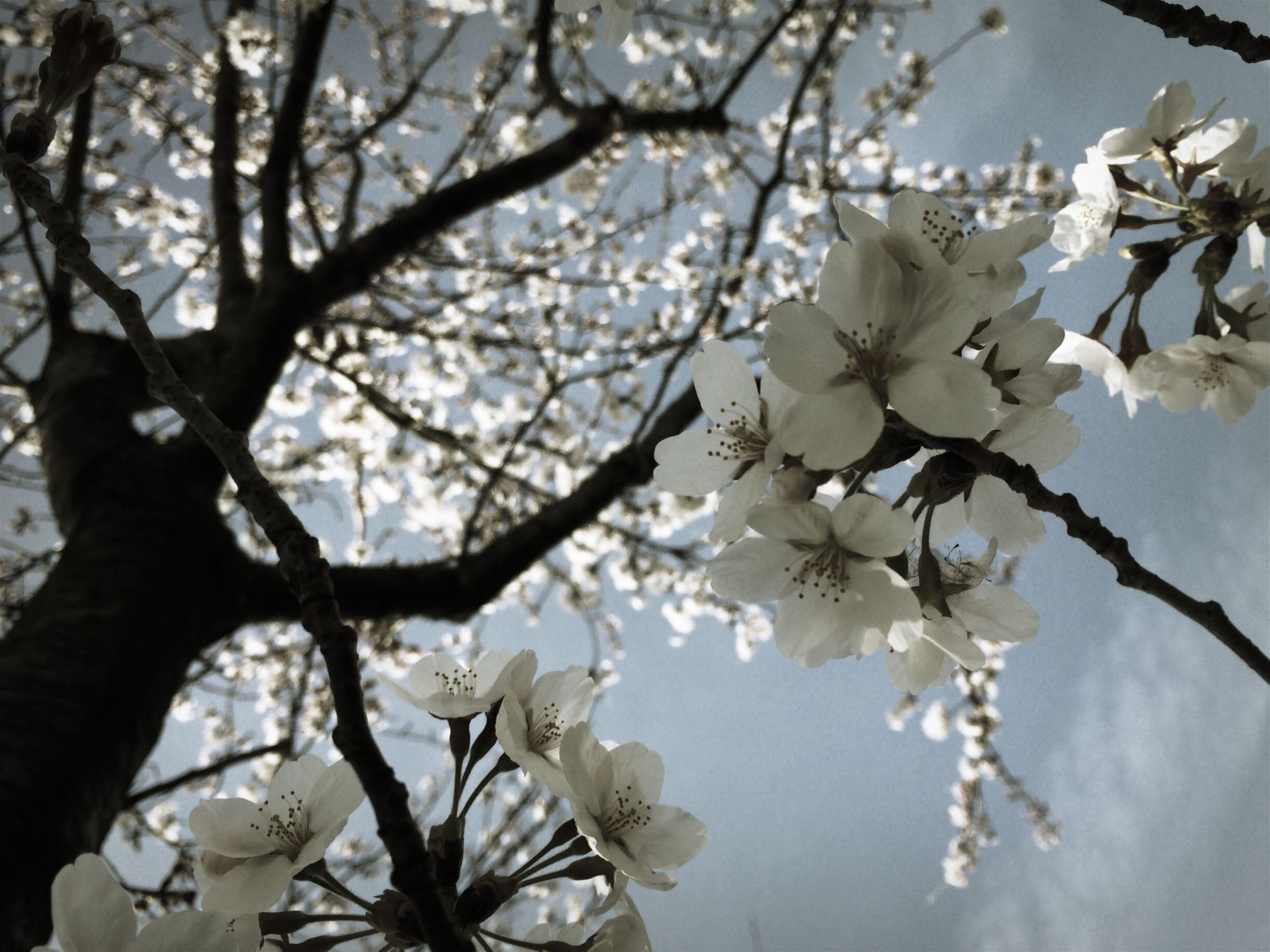 flower, branch, freshness, tree, growth, fragility, beauty in nature, cherry blossom, blossom, nature, low angle view, petal, cherry tree, twig, white color, in bloom, springtime, close-up, blooming, fruit tree