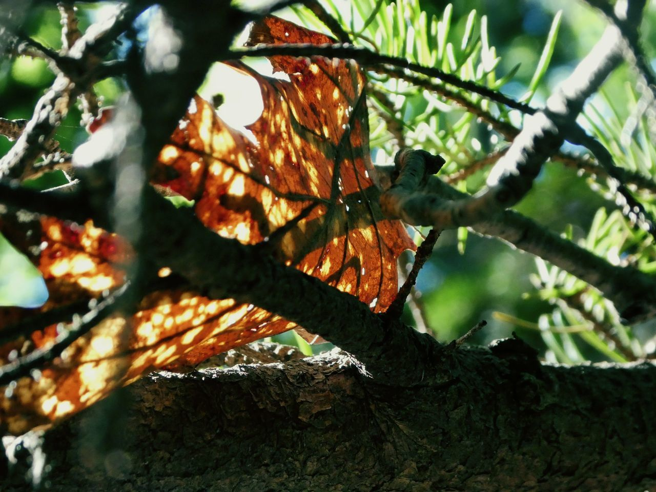 Pine Needles Branches Low Angle View Tree Trunk Sunlight Close-up Branch Selective Focus No People Outdoors Beauty In Nature Autumn 2016 Autumleaf One Red Leaf Sunlight Through The Gaps Brightsun Tree Nature