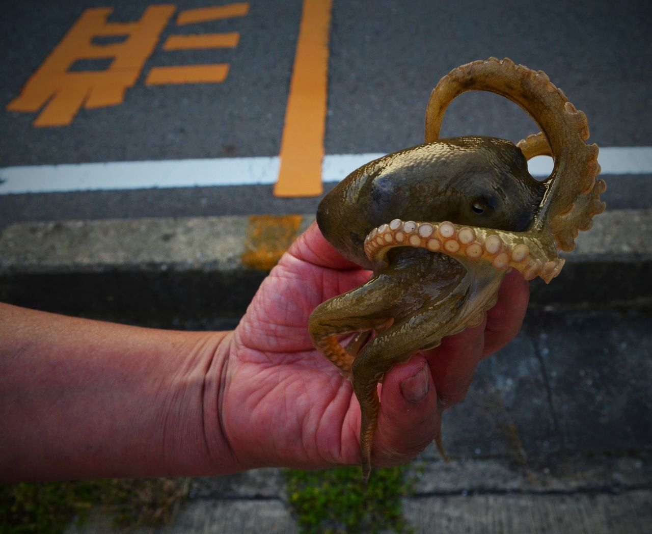 Hand Human Hand Ishizaki Japan Lunch Octopus Offering One Animal Streetscene Tako Tentacles Streetphotography Street Photography Urbanphotography Offerings Streetfood Streetfood Worldwide A Bird In The Hand
