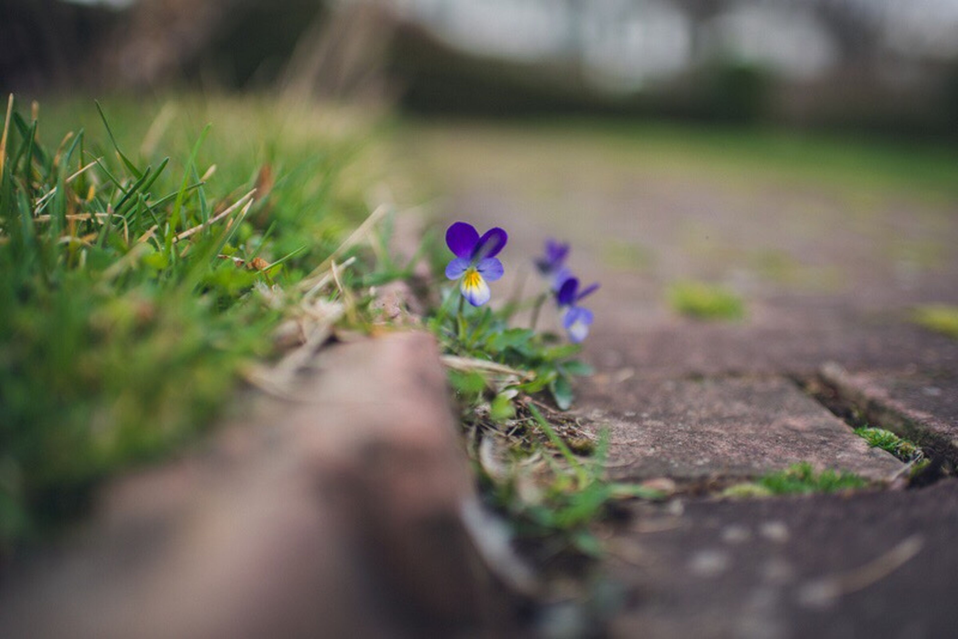 flower, growth, plant, selective focus, the way forward, freshness, nature, fragility, surface level, beauty in nature, field, green color, focus on foreground, blooming, petal, day, tranquility, outdoors, grass, diminishing perspective