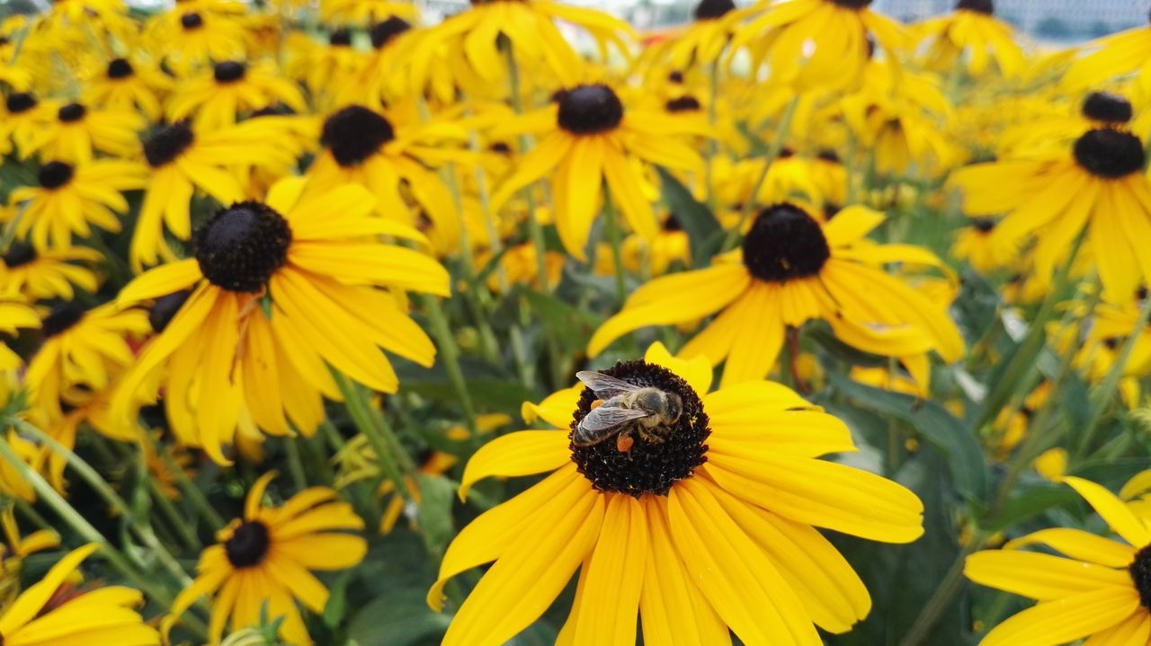 flower, yellow, petal, fragility, nature, freshness, flower head, animal themes, black-eyed susan, beauty in nature, growth, insect, plant, day, animals in the wild, pollen, focus on foreground, bee, one animal, no people, outdoors, blooming, close-up, bumblebee, pollination