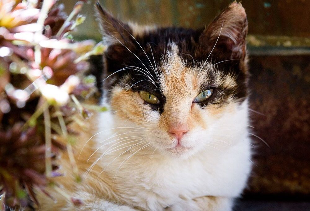 Domestic Cat Feline Pets Domestic Animals Cat Animal Themes Portrait No People Looking At Camera Indoors  Close-up Day One Animal