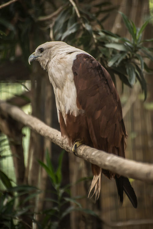 Animal Themes Animal Wildlife Animals In The Wild Bald Eagle Beak Bird Bird Of Prey Branch Close-up Day Eagle Eagle - Bird Eagles Eyeem Philippines Gray Heron Nature No People One Animal Outdoors Perching Philippine Eagle Serpent Eagle Tree White Bellied Eagle