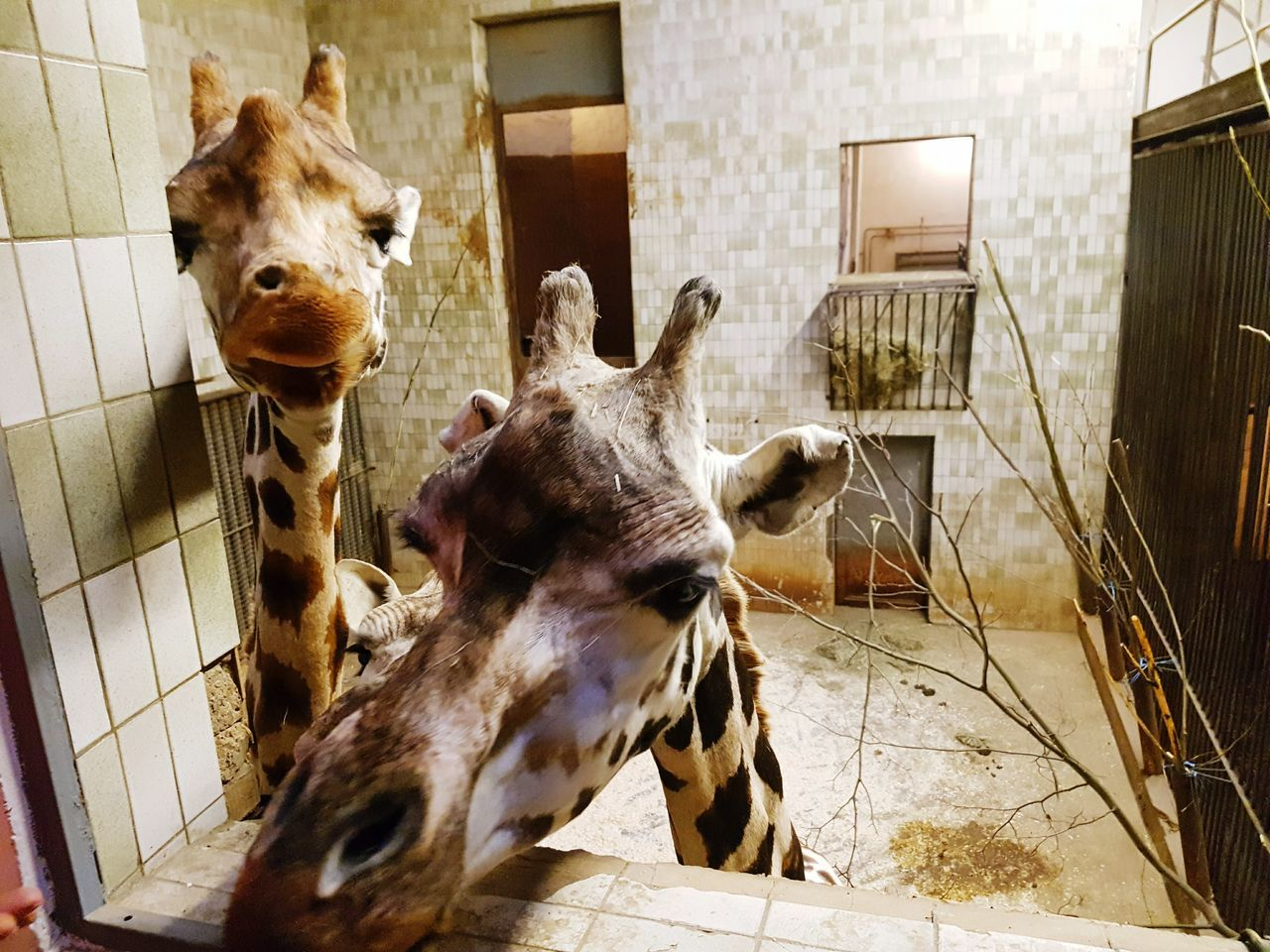 Animal Themes Mammal Domestic Animals Built Structure No People One Animal Pets Cage Outdoors Day Architecture Antler Giraffe