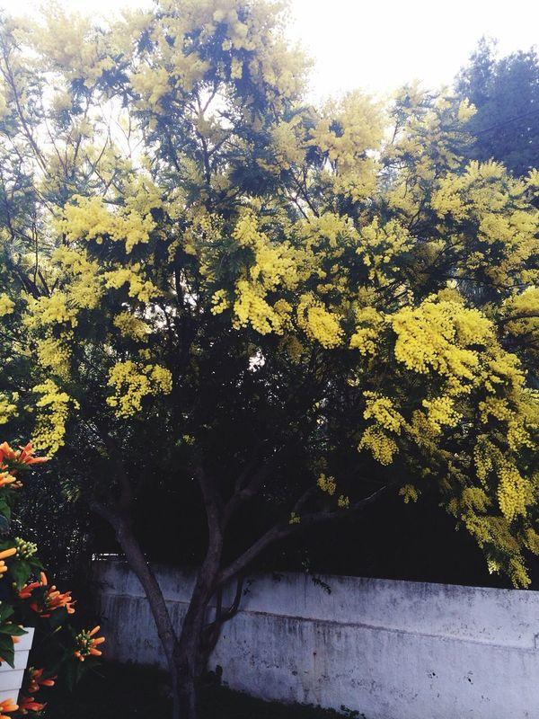 Mimosa,printemps,superbe !!!