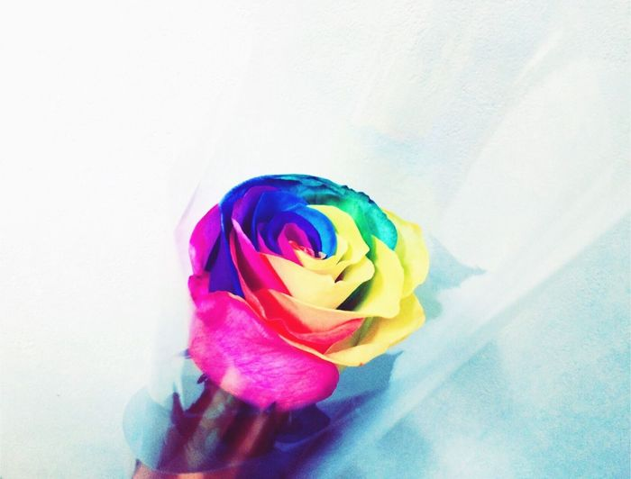 🌹 Beautiful Rosé Colorful Flower Pink Blue Yellow