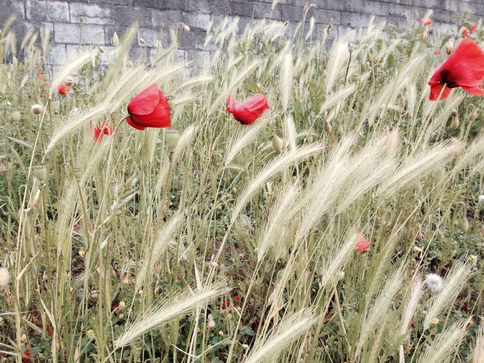Beautiful stock photos of weed, Belgium, Brick, Flora, Flower