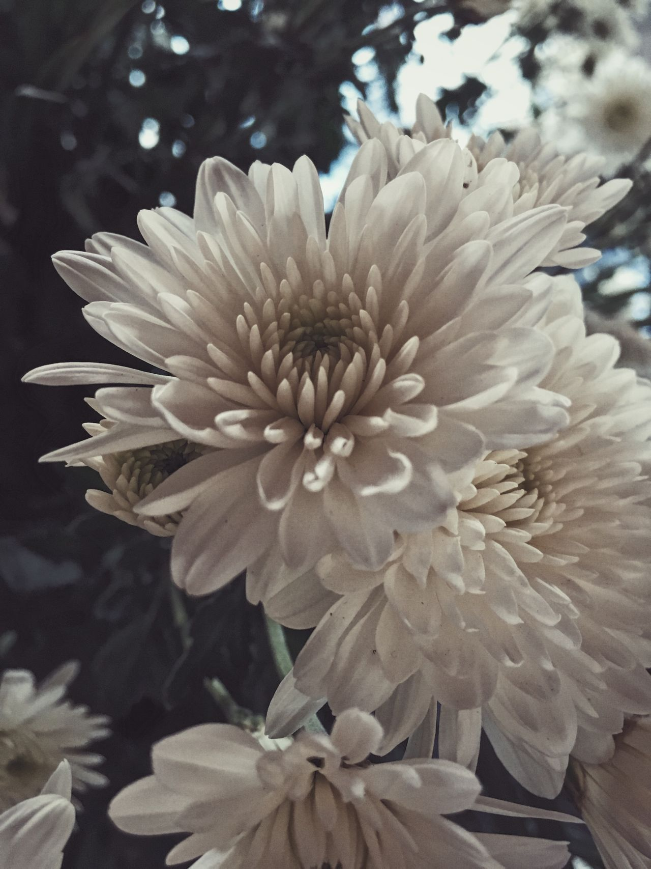 Chrysanthemum Flower Fragility Growth Freshness Beauty In Nature Nature Petal Flower Head Blooming Plant Close-up No People Day Outdoors Dahlia IPhone