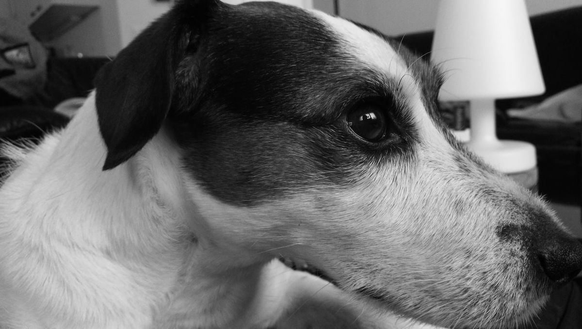 One Animal Animal Themes Pets Domestic Animals Dog Mobilephotography Parsonjackrussell Parsonrussell Jackrussellterrier My Dog Jack Russell Mobile Photography Dog❤ Dogs HuaweiP9plus Huawei P9 Plus Dog Love Monochrome Photography Monochrome