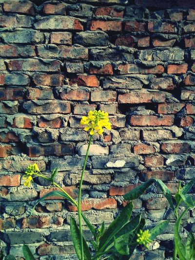 The littie flower and wall Plant No People