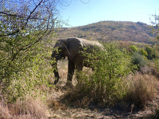 Elephant Tree Nature Animal Wildlife Animals In The Wild Nature Reserve Beauty In Nature Environment Tusk Outdoors African Elephant Day No People Sky Tree Area Mammal