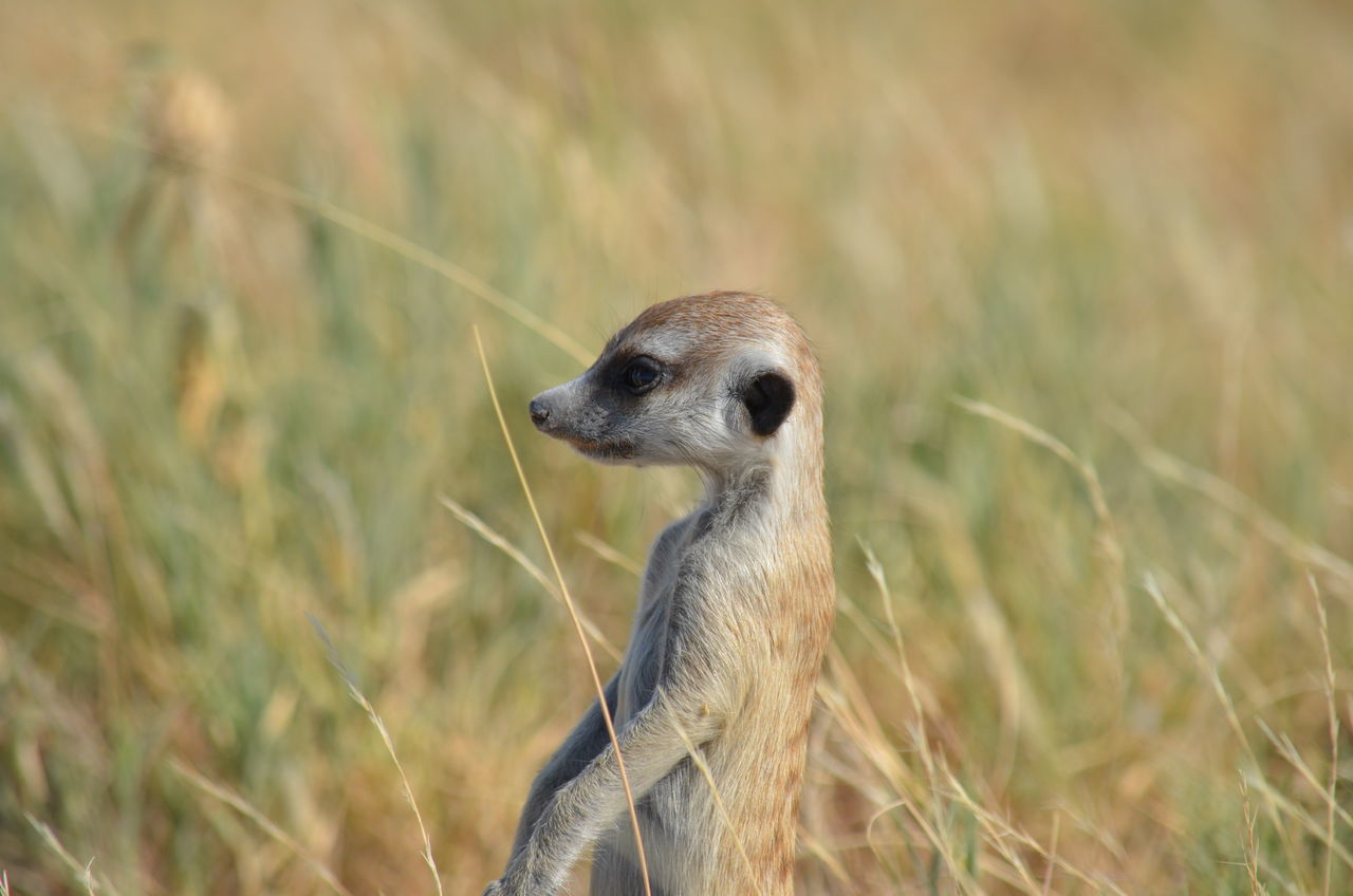 Animal Themes Animal Wildlife Animals In The Wild Close-up Day Field Grass Mammal Meerkat Nature No People One Animal Outdoors