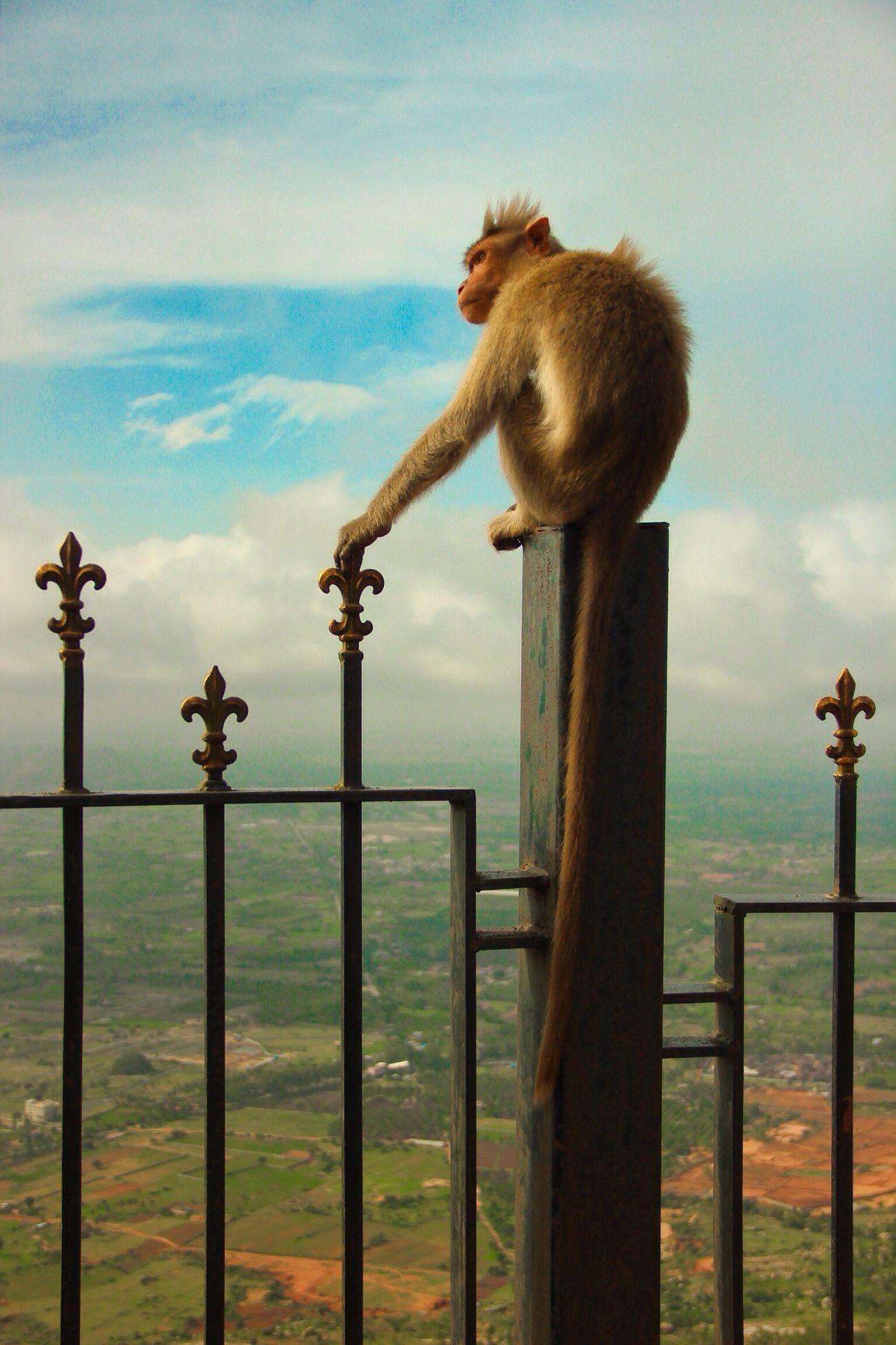 Animal Themes Monkeys Lonesurvivor King Of The World