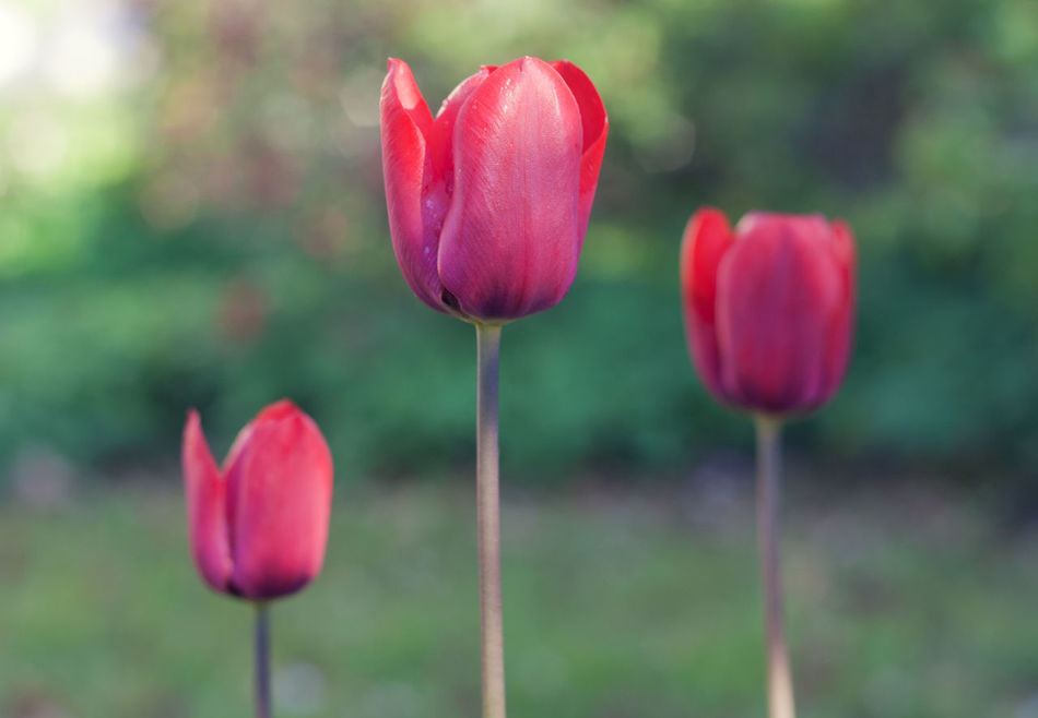 thre tulips April Beauty In Nature Blooming Close-up Colorful Day Flower Flower Head Fragility Freshness Growth Nature No People Outdoors Petal Pink Color Plant Poppy Red Spring Sunlight Tulip