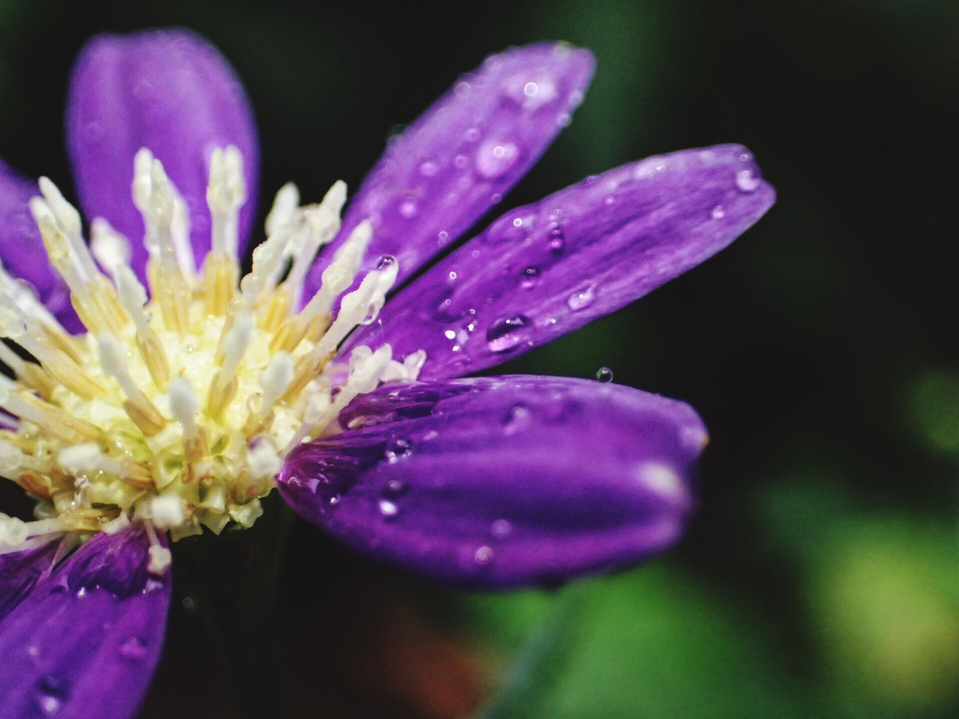 flower, petal, freshness, fragility, beauty in nature, nature, growth, flower head, purple, plant, close-up, selective focus, no people, outdoors, springtime, water, day, yellow, stamen, blooming