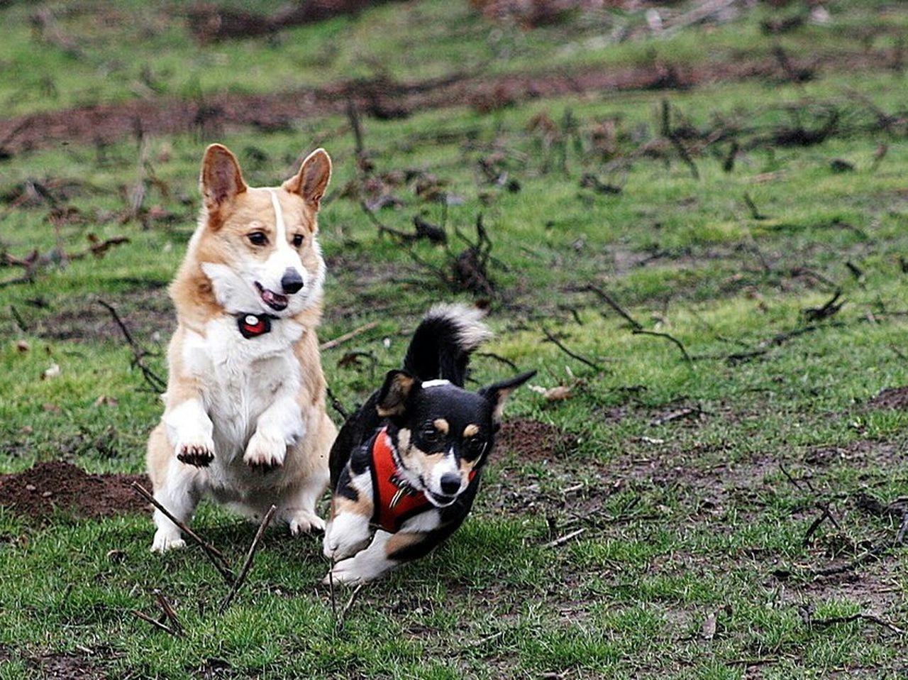 zoiks Corgi Shelter Pup Run! Puppy Mill Survivor I Love My Dog
