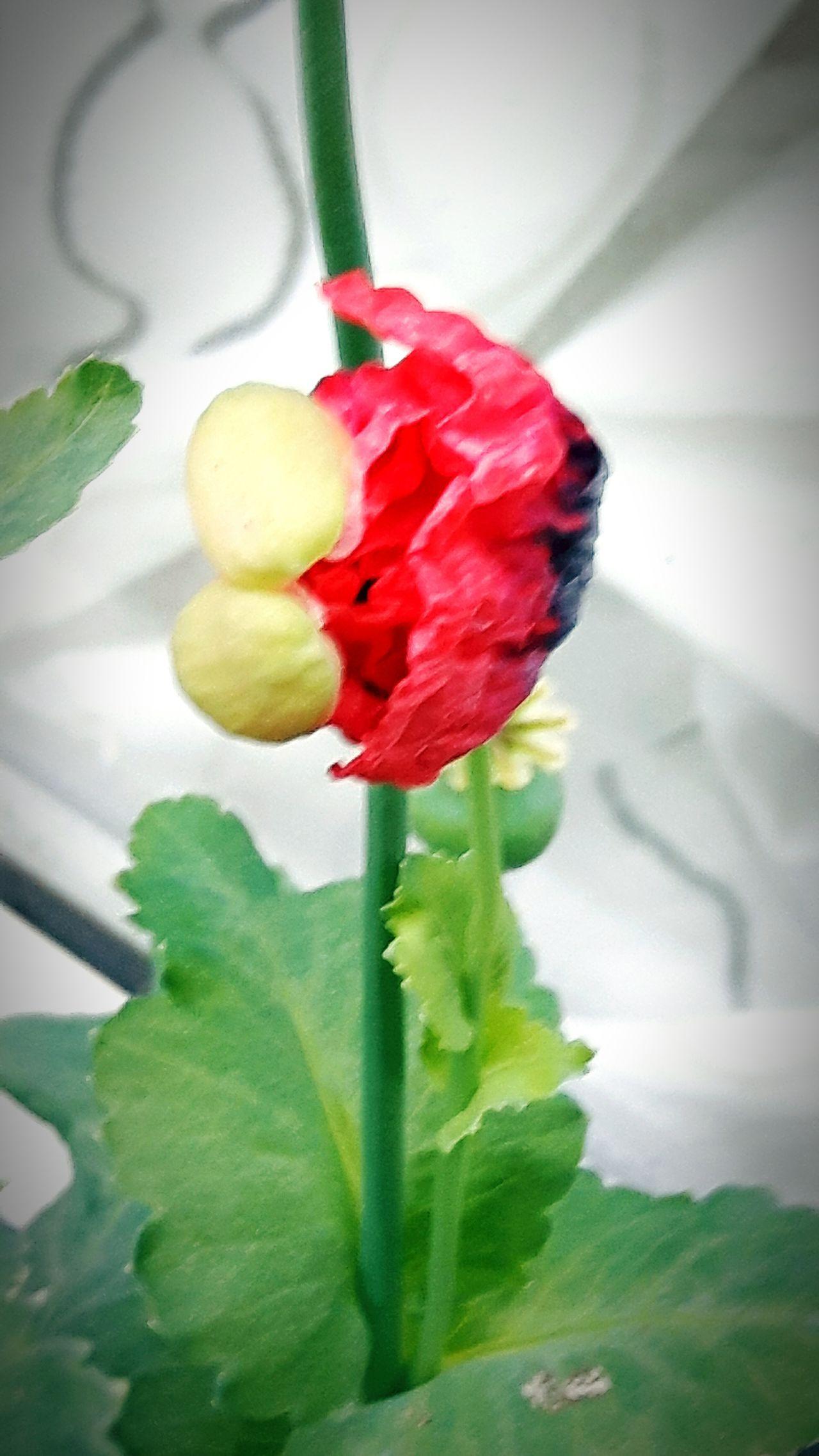 A Little Touch Of Color Poppy Flower Poppy In The Morning EyeEm Best Shots EyeEm Gallery Eyeem Poppy