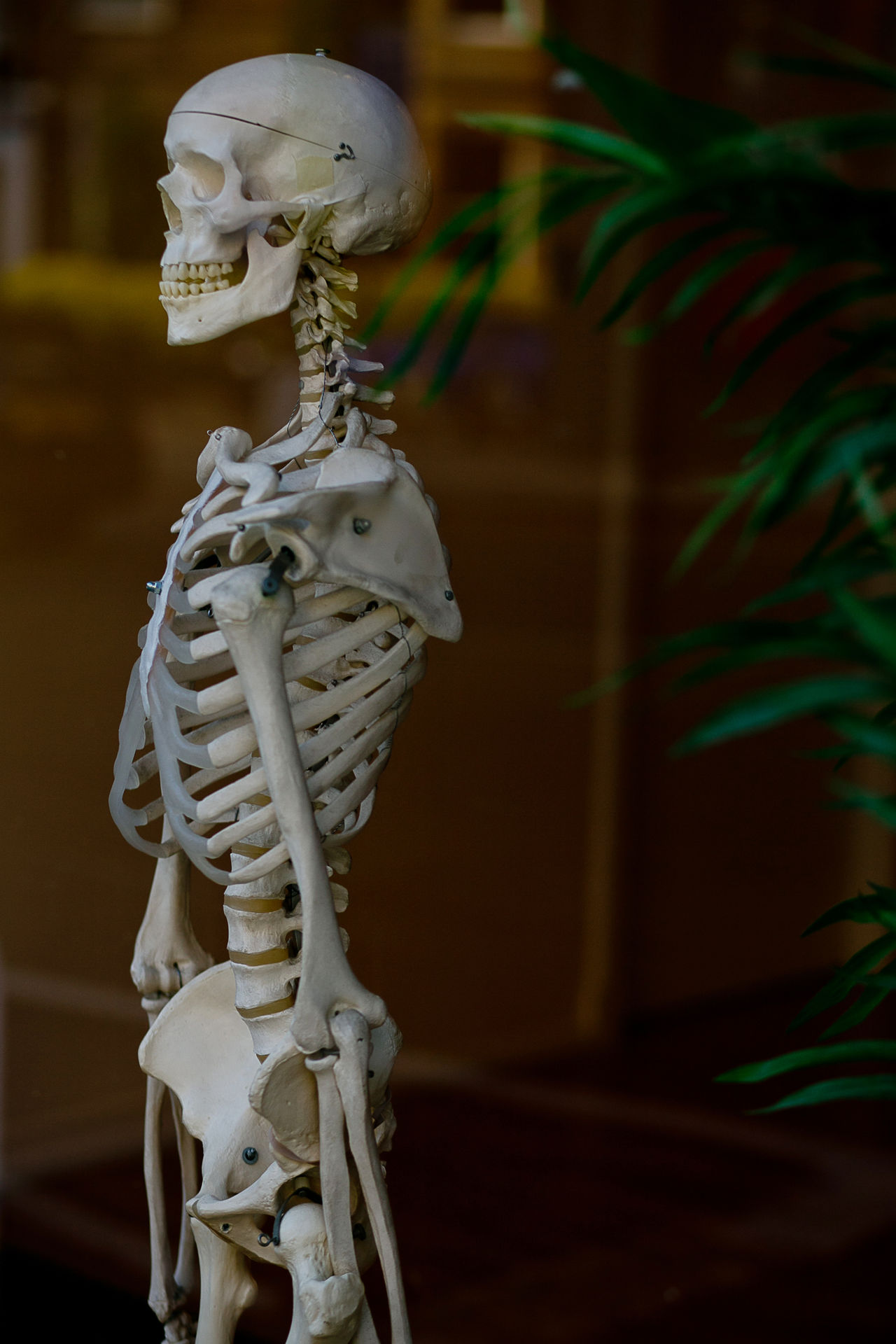 skeleton Anatomy Biology Day Discover Your City Human Body Part Human Skeleton Medical Museum No People Science