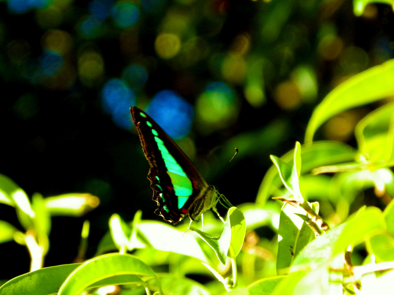 one animal, insect, animals in the wild, animal themes, green color, butterfly - insect, leaf, animal wildlife, growth, nature, outdoors, no people, close-up, plant, butterfly, day, beauty in nature, fragility, freshness