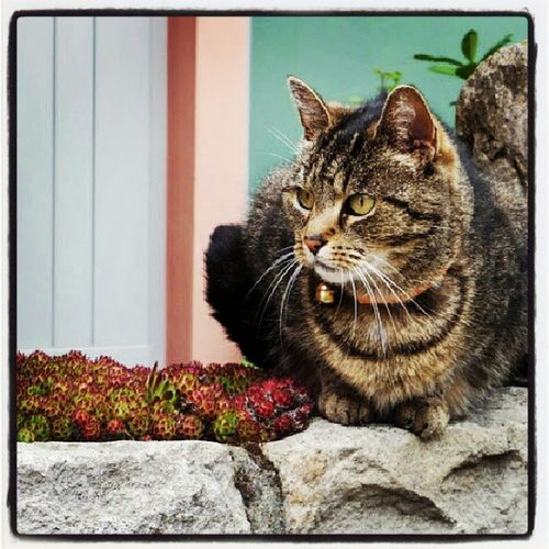 Tiger Katze