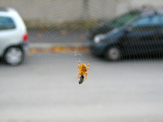 A spider, a fly and two cars Danger Focus On Foreground No People Selective Focus Spider Spider Web The Purist (no Edit, No Filter) TWINGO