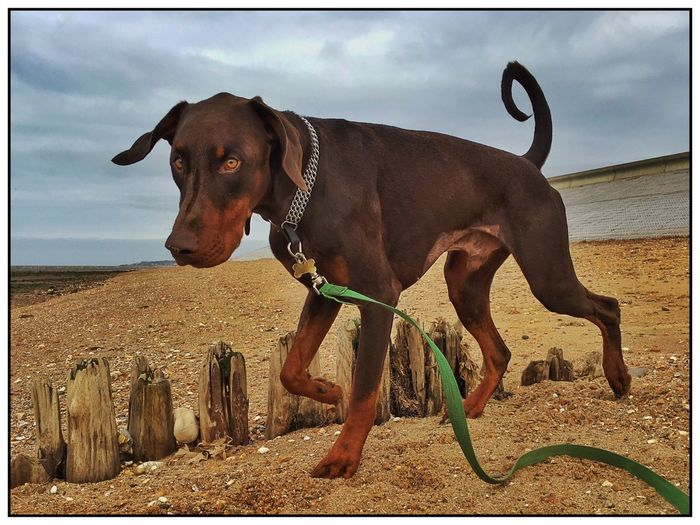 Alfie and I enjoying the beach today while he gets over his recent stay in the animal hospital. (You can still see the number 1 shave that the vet gave him on his tummy). Walking The Dog Alfie The Doberman Doberman  Dog On The Beach Beach Dog Playing In The Sand Sand