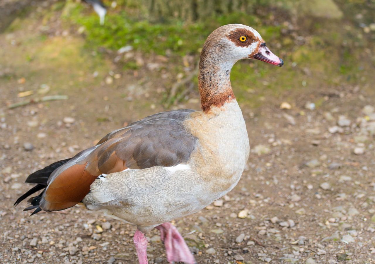 Egyptian Goose Alopochen Aegyptiacus Animal Themes Bird Close-up Day Egyptian Goose Goose No People Outdoors