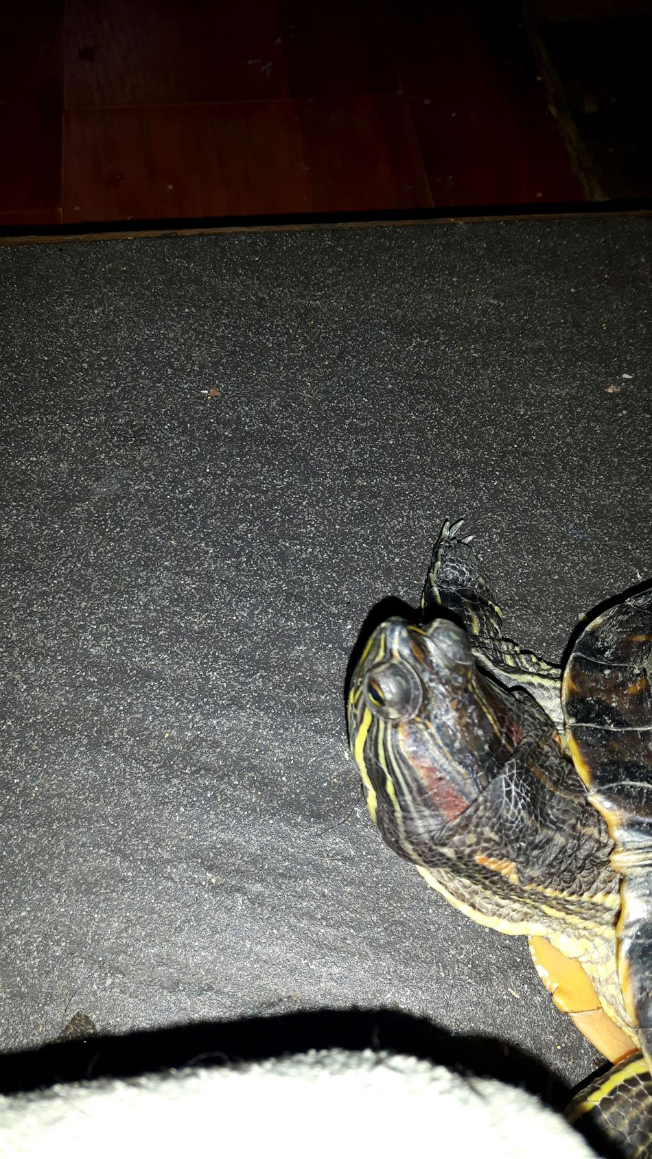 Turtle :) No People Turtle Seacreatures Animalsofthesea Animal Reptile WaterCreature Creatures Coldblooded Water Sea Green Yellow Redearedslider Pet Freedom Love Exotic Close-up Animaleye