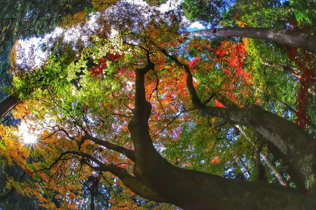 彩度高⤴︎コントラスト高⤴︎テンション⤴︎⤴︎で今週もよろしくお願いしま~す😆😁😂 Tree Low Angle View Nature Growth Day Multi Colored Beauty In Nature Outdoors No People Branch Illuminated Close-up Sky 紅葉 一目惚れんず