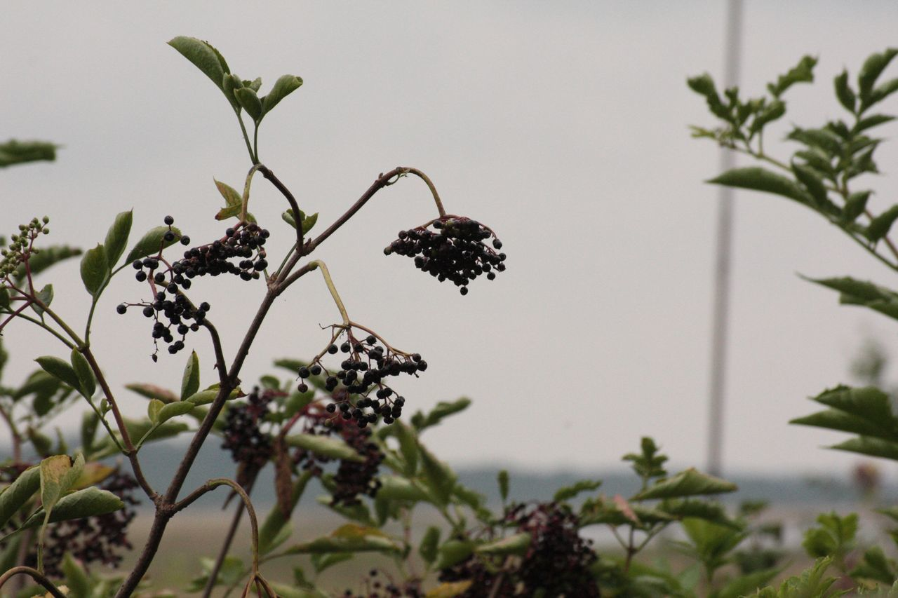 Beauty In Nature Beeren Berries Berrys Branch Close-up Day Fragility Freshness Growth Leaf Nature No People Outdoors Plant Rügen Rügen Insel Rügen Landscape Rügenliebhaber Sky Strauch Tree