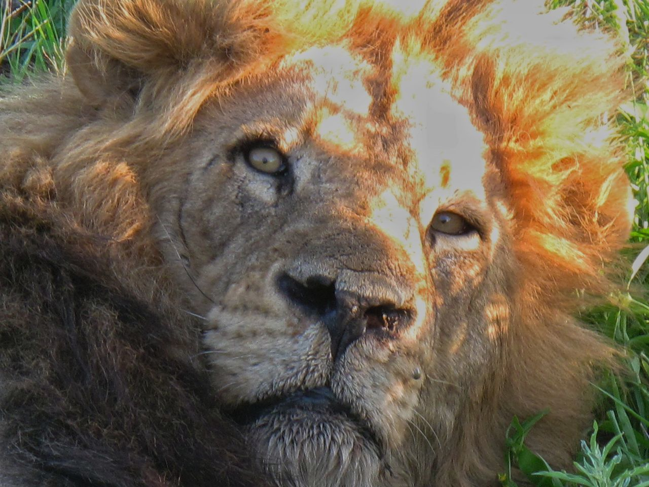 Close-Up Portrait Of Lion Lying On Grass