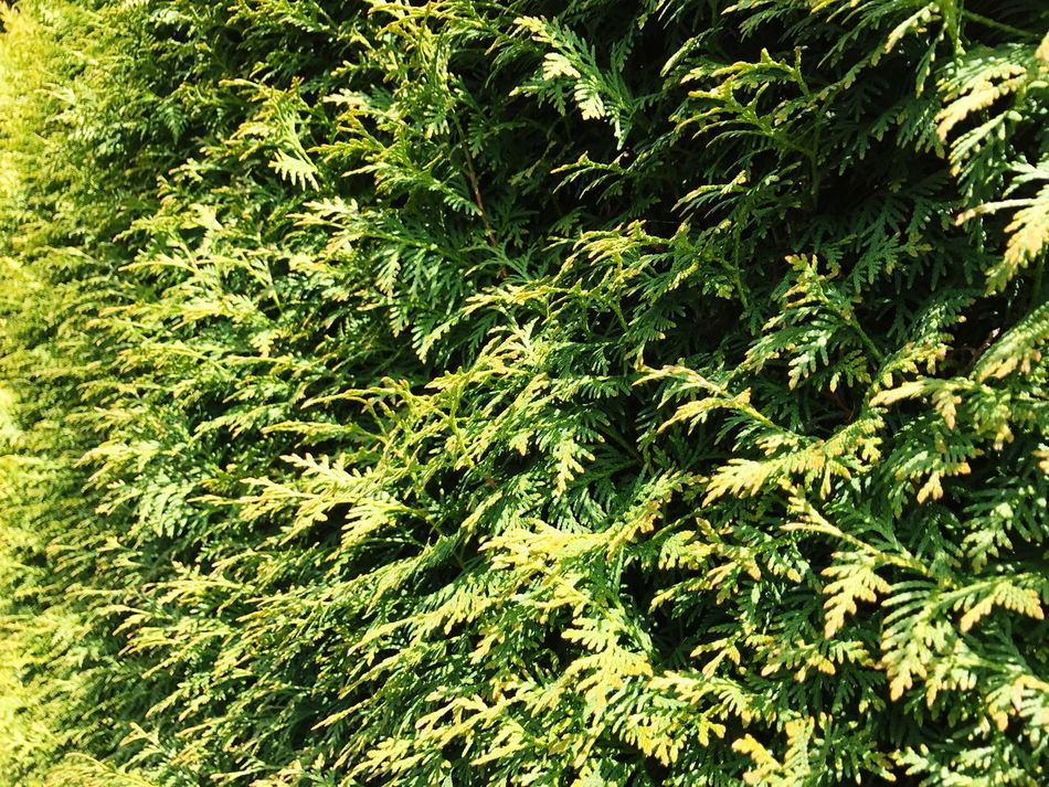 Hedge Hedgerow Leaves Green Color Nature No People Day