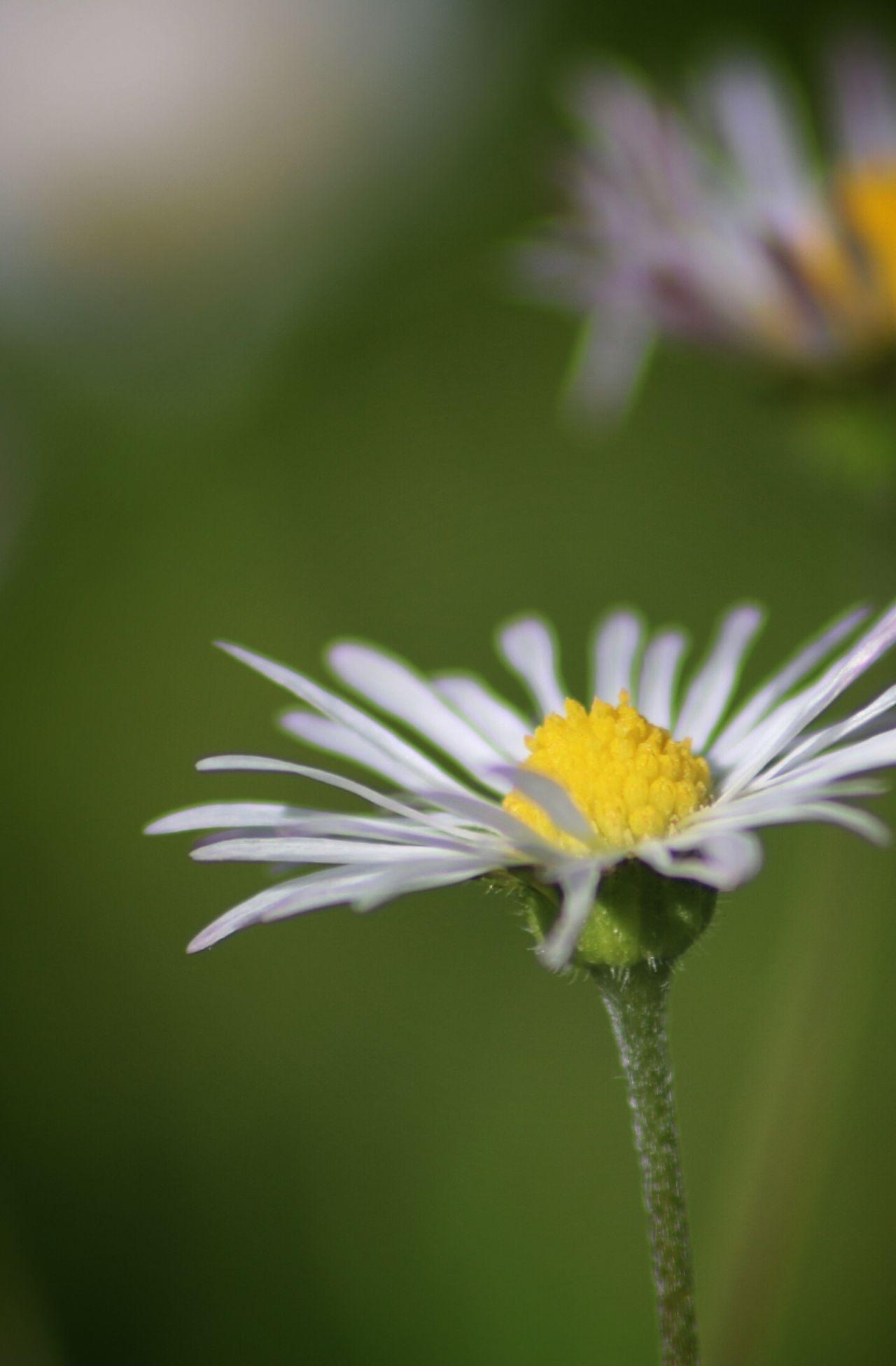 Nature Petals In Pink Petal Flowerporn Flower Daisy Daisy 🌼 Daisy Close Up