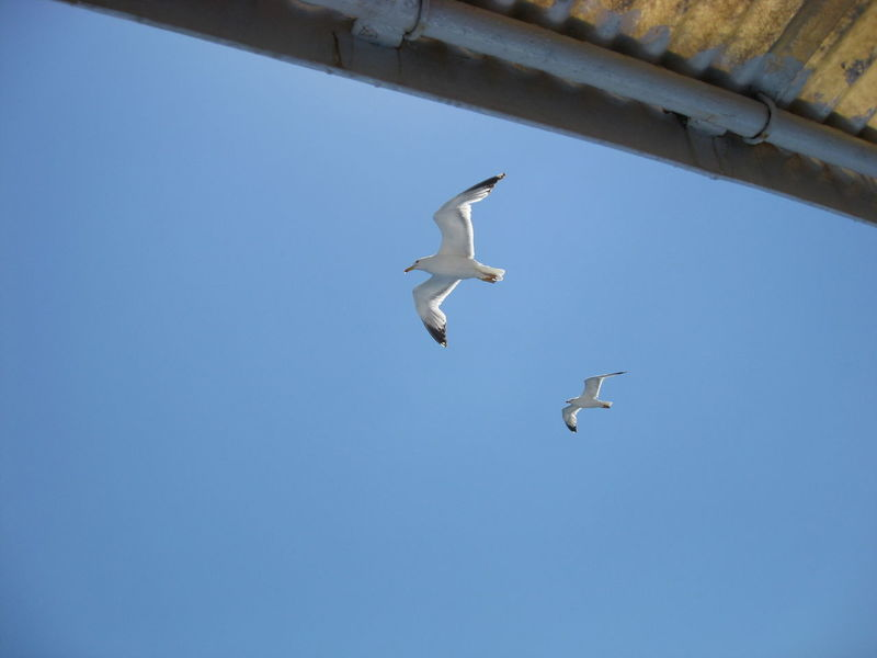 Animal Themes Animal Wildlife Animals In The Wild Bird Clear Sky Flying Nature Seagull Sky Spread Wings