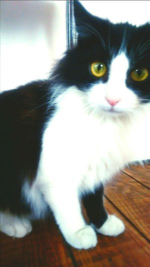 Baby Cat Cute Pet The Most Beautiful Cat Love Black & White Kiss