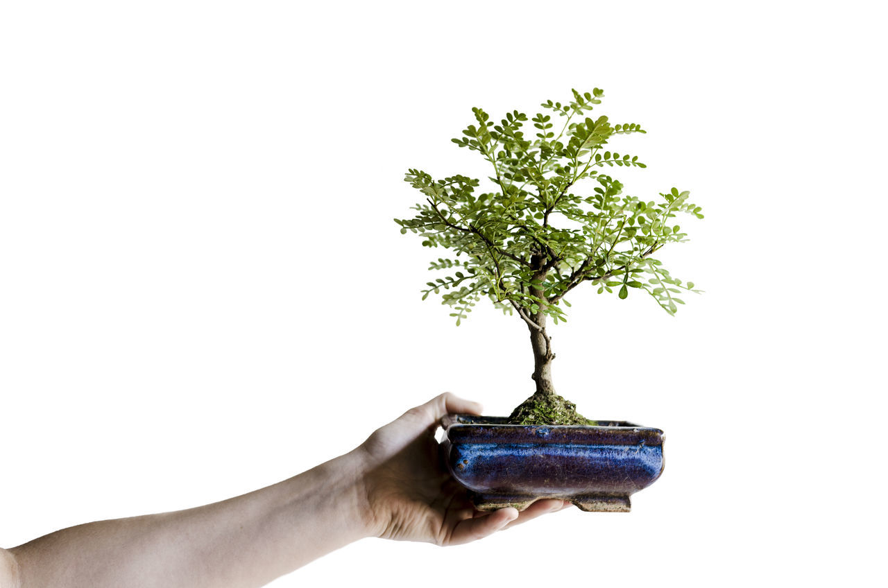 A hand holding a bonsai tree. Beautiful Beauty In Nature Bonsai Tree Copy Space Growth Holding Human Body Part Human Hand Miniature Nice One Person People Person Plant Potted Plant Small Small Tree Studio Shot Tree White Background