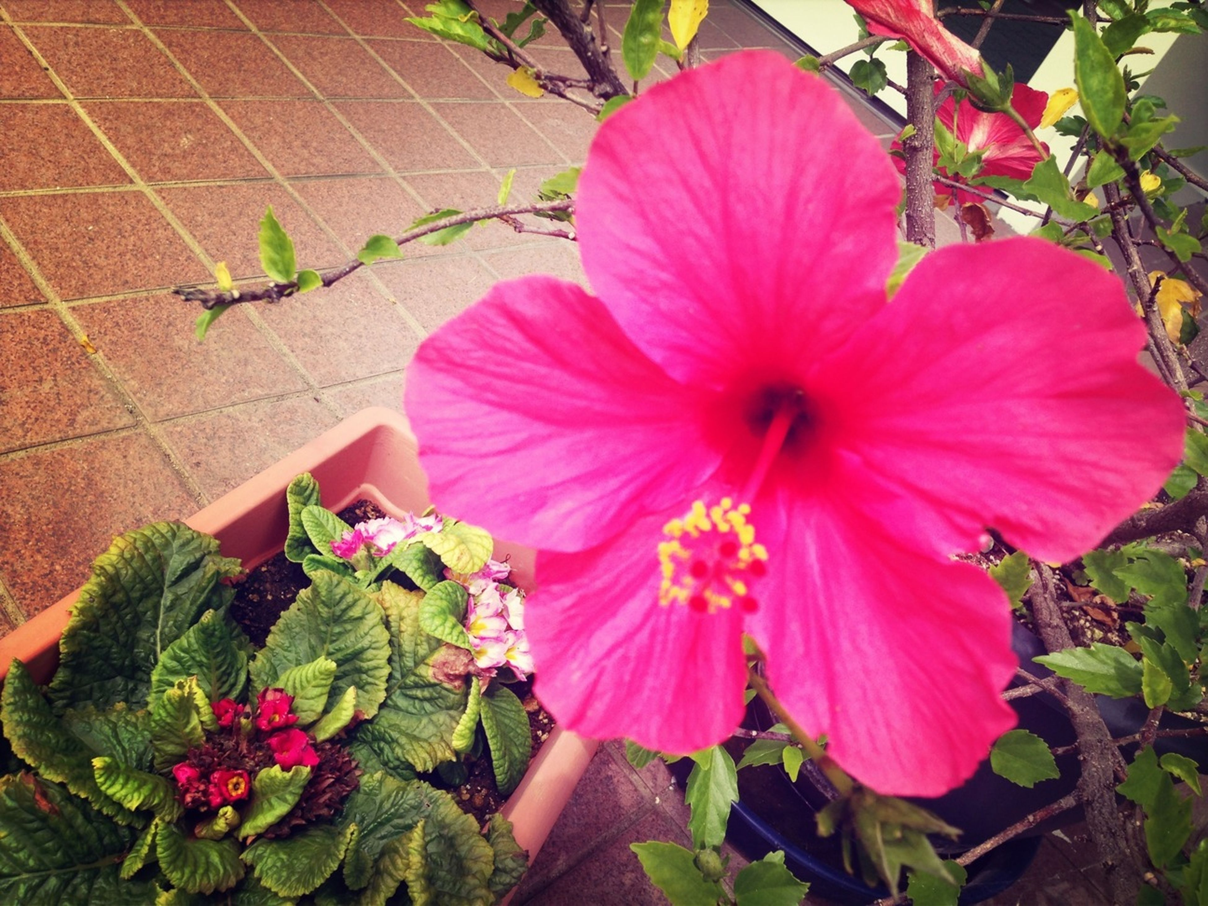 flower, petal, freshness, fragility, flower head, growth, pink color, leaf, plant, beauty in nature, blooming, nature, red, close-up, hibiscus, high angle view, in bloom, blossom, stamen, day