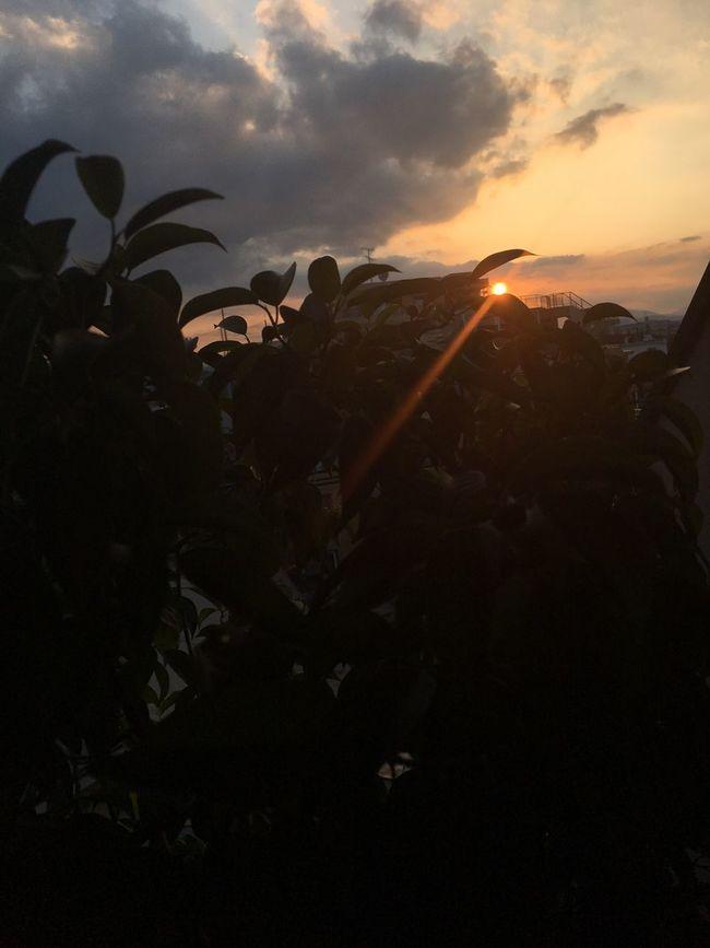 ベンジャミン越しの夕陽 空 夕陽